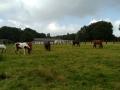 Schulpferde auf der Weide